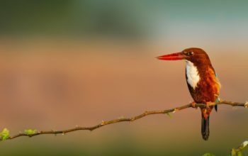 small white throated kingfisher on branch